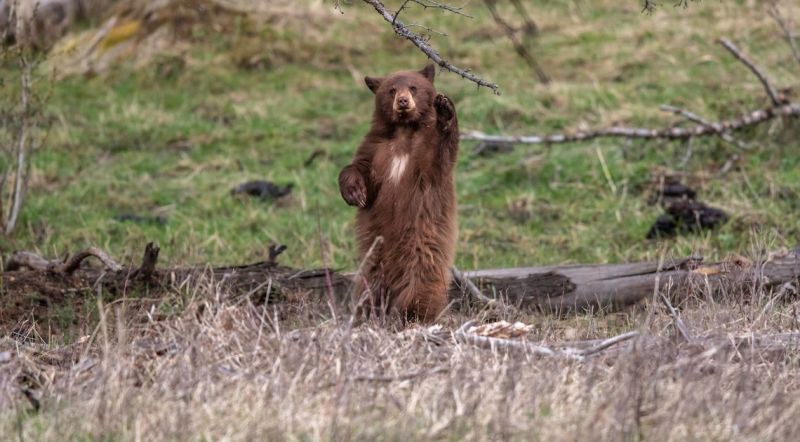 Cinnamon colored black bear standing on hind legs waving (Shutterstock)