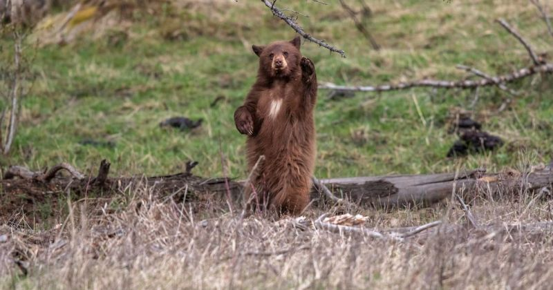 Cinnamon colored black bear standing on hind legs waving